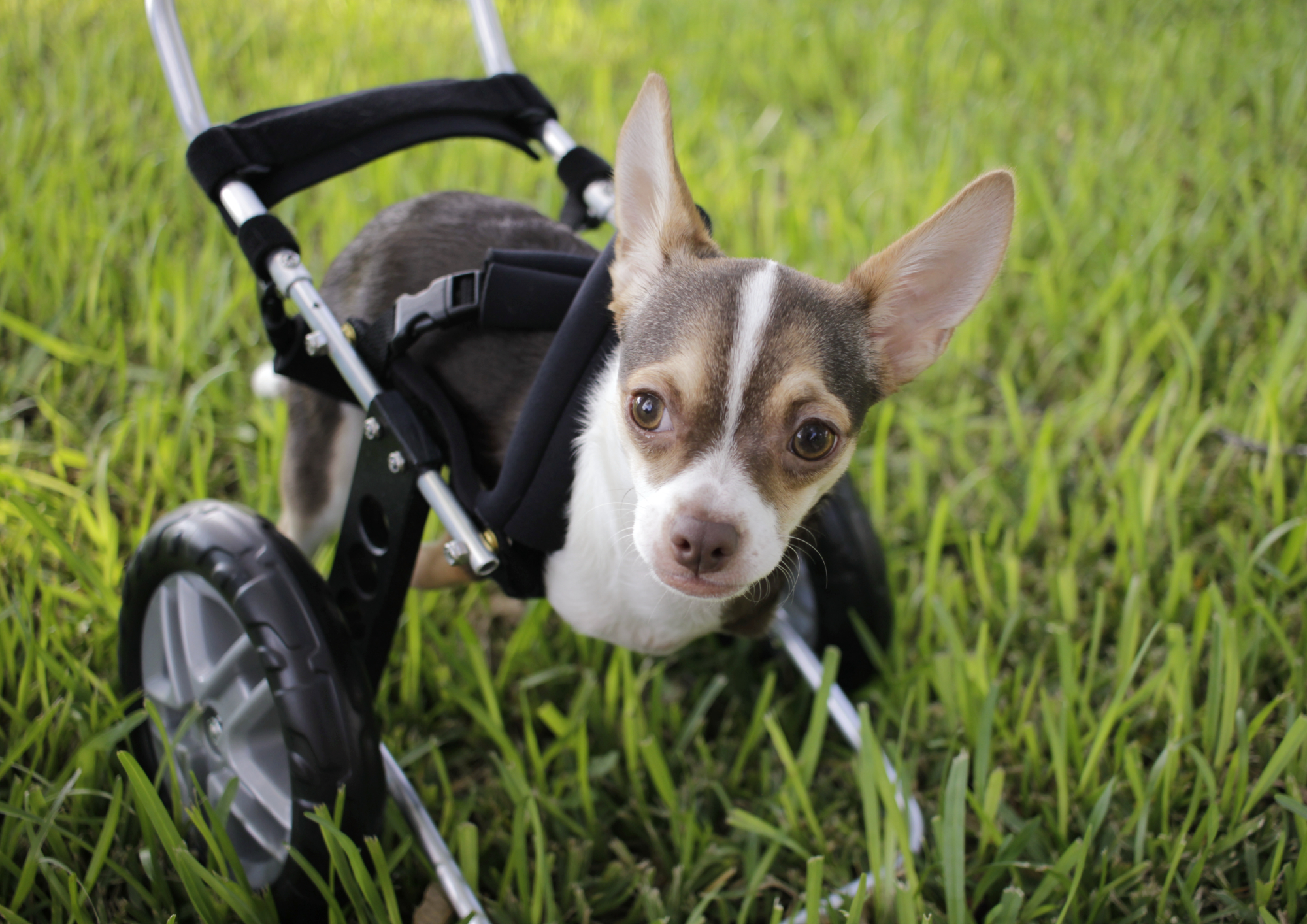 texas chihuahua rescue helping small dogs live big dreams