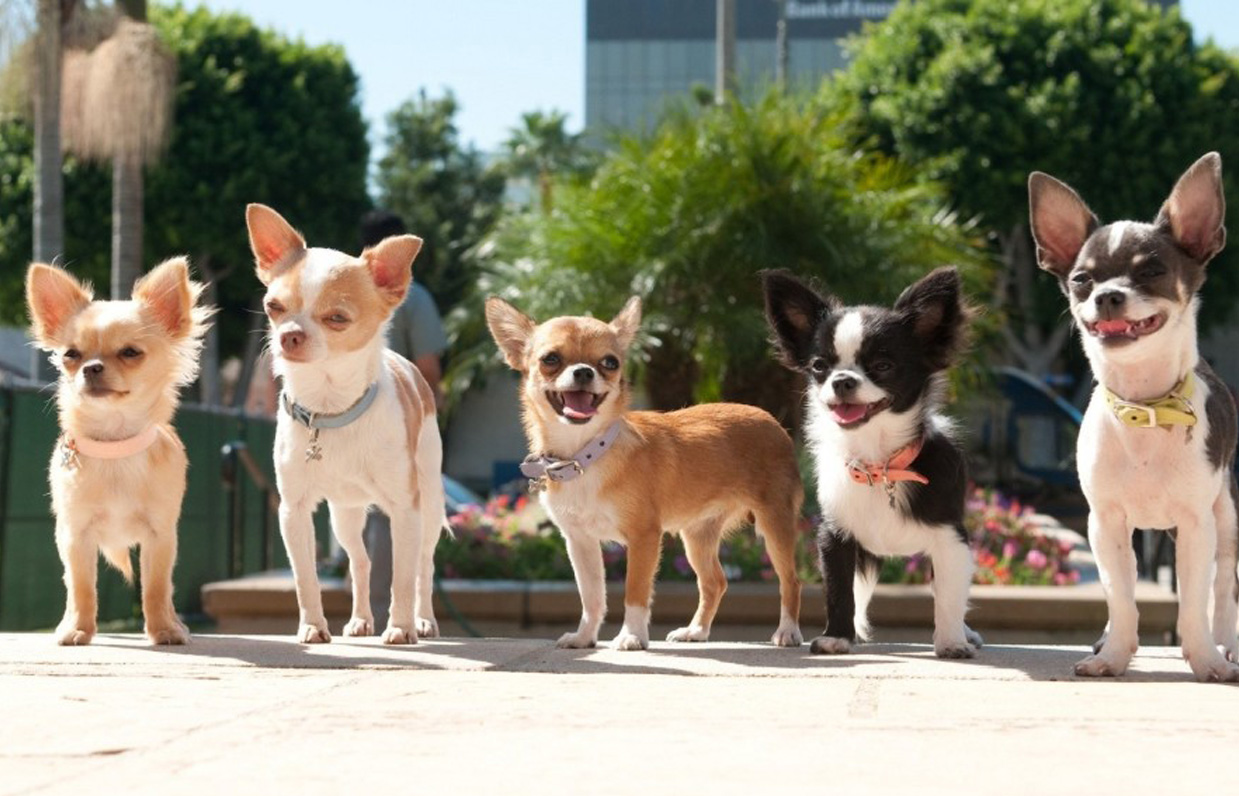 Chihuahua Dogs Group