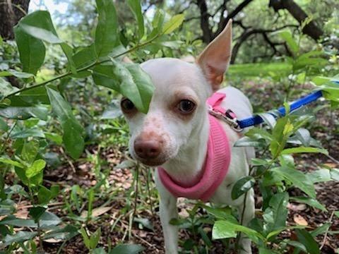 Toki Texas Chihuahua Rescue