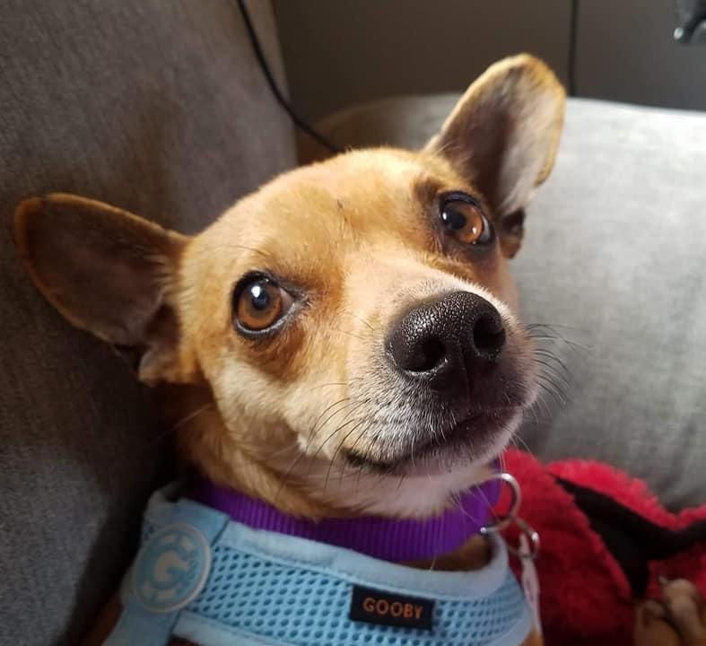 Walnut - Texas Chihuahua Rescue