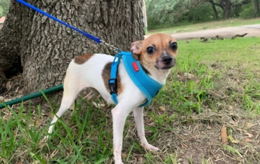 Available – Texas Chihuahua Rescue