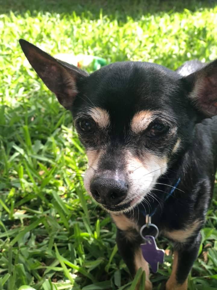 Rocky - Texas Chihuahua Rescue